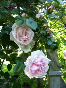 Rosa, New Dawn